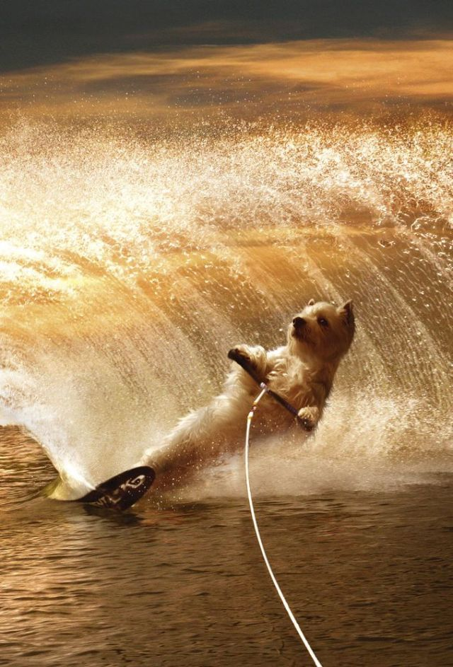 westies wakeboarding